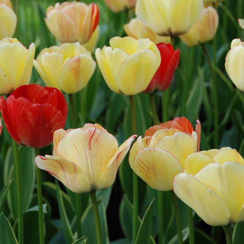 Tulipe Darwin Hybride Silverstream