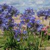 Agapanthe bleue