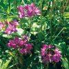 Allium oreophilum (Ostrowskianum)