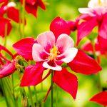 Ancolie simple Crimson Star