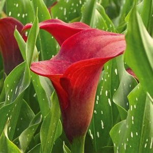 Arum Majestic Red