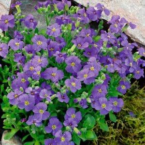 Aubriete a grande fleur violette