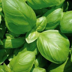 Basilic grand vert bio