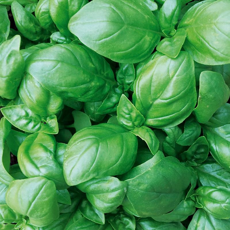 Basilic grand vert preseme bio