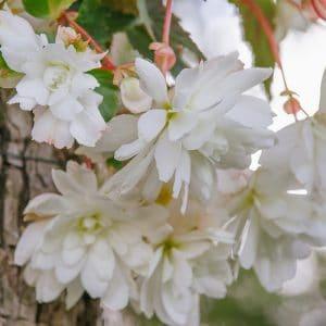Bégonia cascade blanc