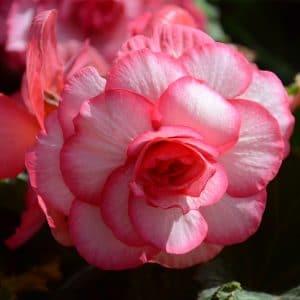 Bégonia Double Bouton de rose