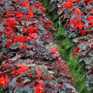 Bégonia multiflora la Suisse