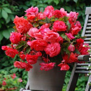Bégonia Odorata Pink Delight