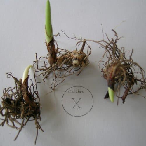 Bletia Striata hyacinthina