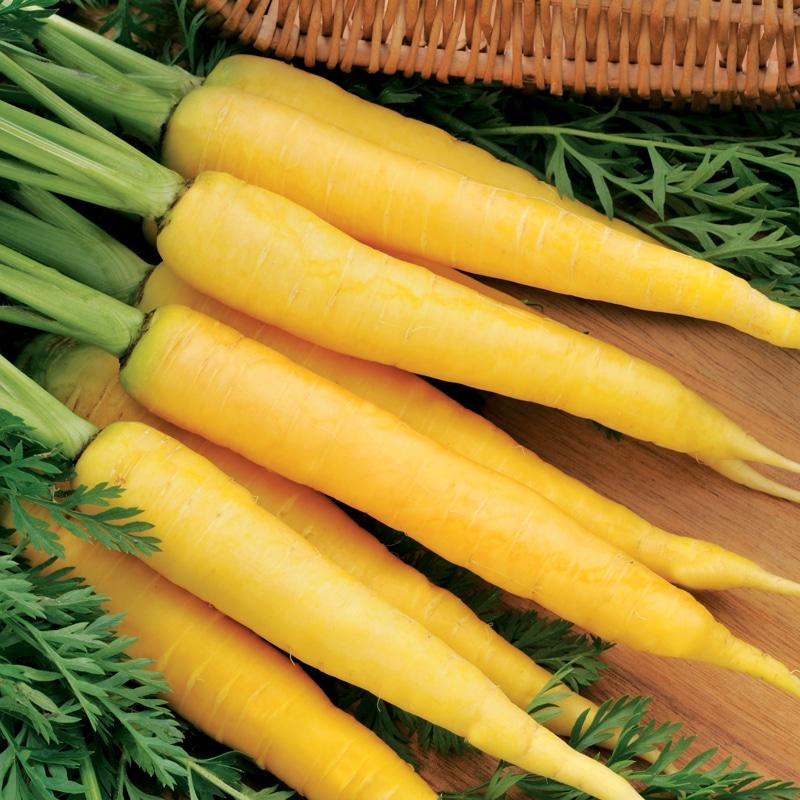 Carotte fourragère jaune du Doubs