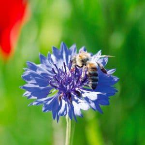 Centaurée barbeau bleuet bio