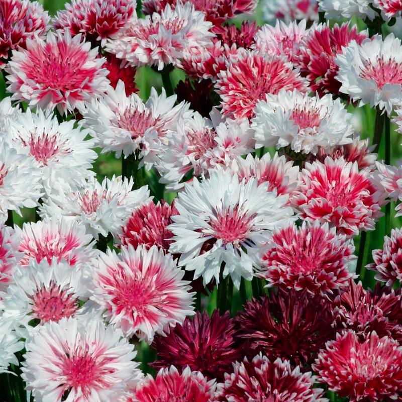 Centaurée Barbeau mix rose