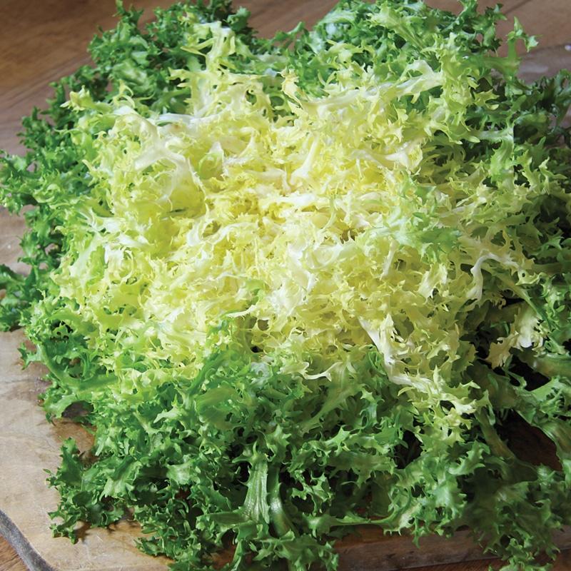 Chicoree frisee de meaux présemé bio