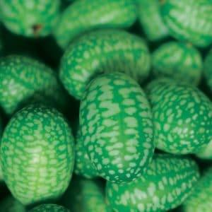 Concombre mexicain présemé bio