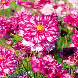 Cosmos double Click Bicolor Violet