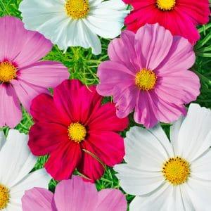 Cosmos Sensation à grandes fleurs varié