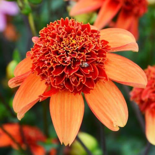 Dahlia alvéolé Totally Tangerine