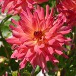 Dahlia Buisson Calvi