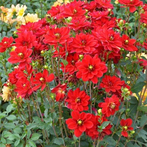 Dahlia Buisson Jaïpur