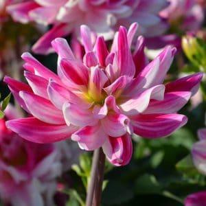 Dahlia Buisson Nain Friandise