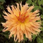 Dahlia Cactus Aurore