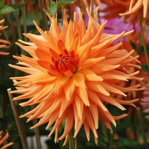 Dahlia Cactus Eclatant