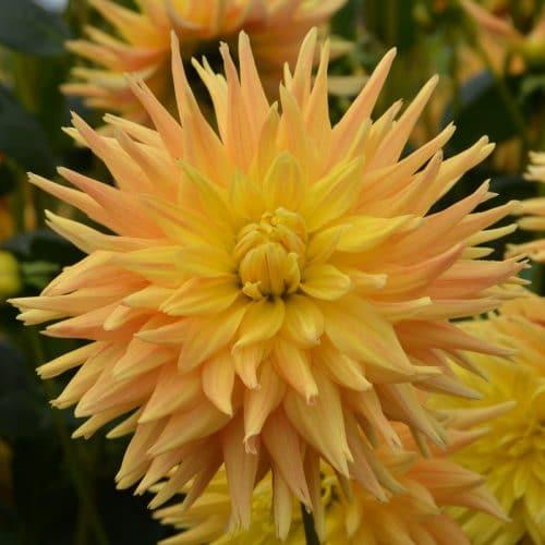 Dahlia Cactus Eté Indien