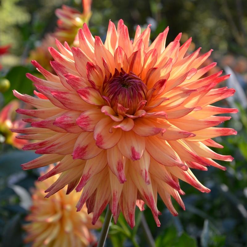 Dahlia Cactus Isadora