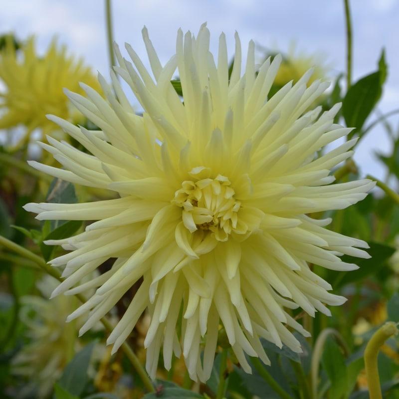 Dahlia Cactus Mélodie