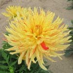 Dahlia Cactus Nain Fantaisie
