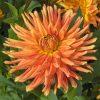 Dahlia Cactus Nain Géronimo