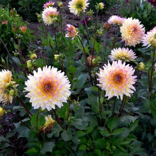 Dahlia Cactus Nain Pénélope