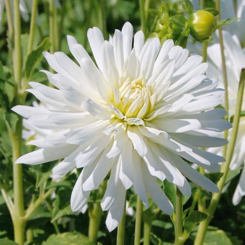 Dahlia Cactus Nain White Princess