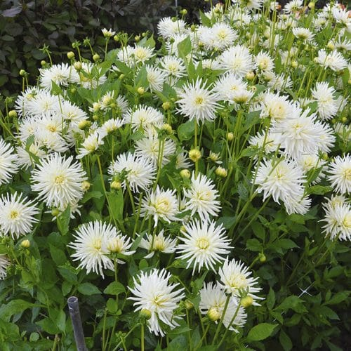 Dahlia Cactus Orion