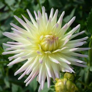 Dahlia Cactus Shooting Star