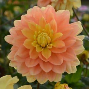 Dahlia Décoratif Clovis