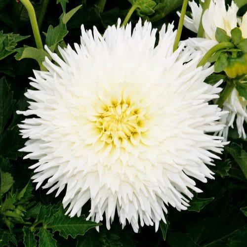 Dahlia Dentelle White Lace