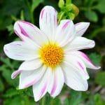 Dahlia Géant Lady Bee