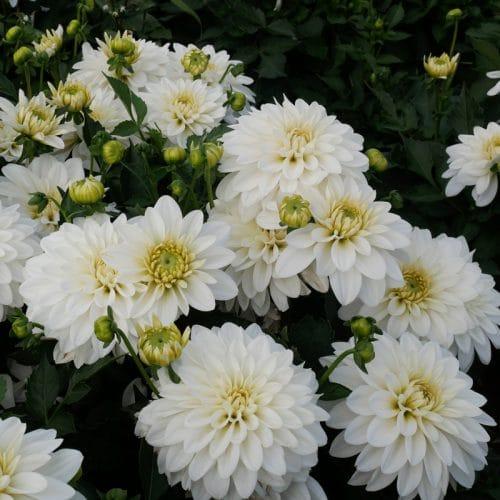 Dahlia Nain Double White Pearl