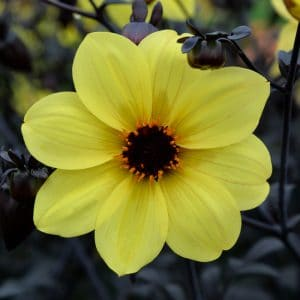 Dahlia Nain Simple Mystic Ladies Knock Out