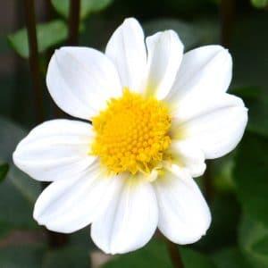 Dahlia nain simple Topmix Blanc
