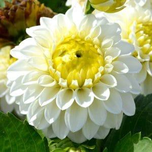 Dahlia Pompon Orage Blanc