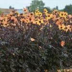 Dahlia simple Bright and Black Bio