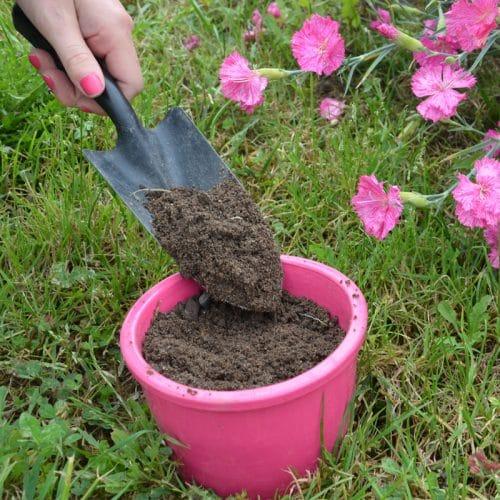 Echinacea Purpurea Rose preseme bio