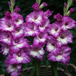 Glaïeul à Grandes Fleurs Anouk