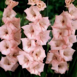 Glaïeul à Grandes Fleurs Cimarosa