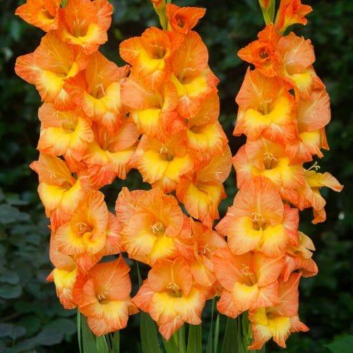 Glaïeul à Grandes Fleurs Conca d'Oro