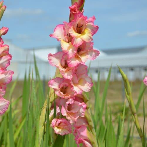 Glaïeul à Grandes Fleurs Priscilla