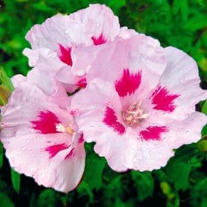 Godetia à fleur d'Azalée Maiden Blush