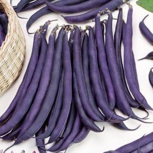 Haricot nain mangetout Purple Queen bio
